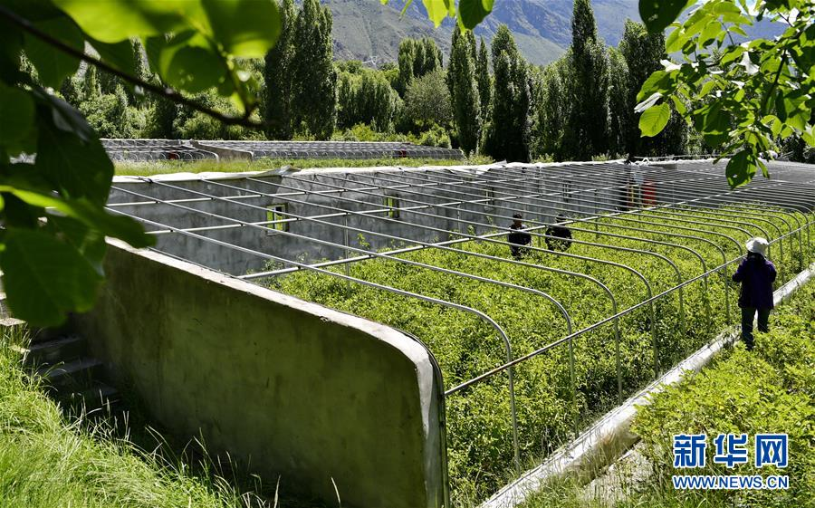 西藏朗县:发展辣椒产业 助力脱贫攻坚